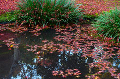 Red autumn maple leaves floating at the edge of a quiet pond Stock Photo