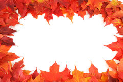 Red autumn maple leaves. Isolated on white background Royalty Free Stock Photo