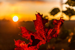 Red autumn maple leaves at sunset Stock Photos