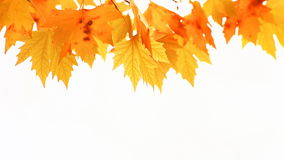Red autumn maple leaves stock video footage