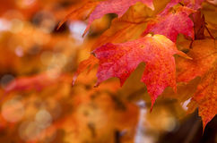Red autumn maple leaves Royalty Free Stock Images