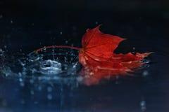 Red autumn maple royalty free stock photos