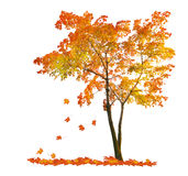 Red autumn maple tree with falling leaves. Red autumn maple tree isoalted on white background Stock Photo