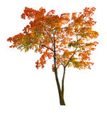 Red autumn maple tree isoalted on white Stock Images