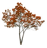 Red autumn maple tree isolated on white background Royalty Free Stock Photo