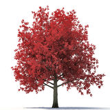 Red autumn maple tree isolated on white. 3D illustration Royalty Free Stock Photos