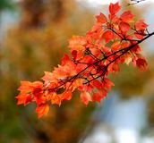 The red autumn maples Royalty Free Stock Image