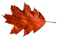 Red autumn oak leaf Stock Image