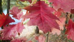 Red autumn oak leaf in the wind.