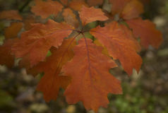 Red autumn oak leaves Royalty Free Stock Image