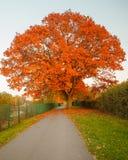 Red autumn oak tree Stock Image