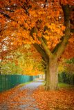 Red autumn oak tree stock image
