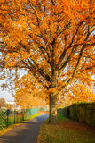 Red autumn oak tree Royalty Free Stock Photo