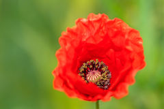 Red Autumn Poppy. Macro Picture of a Red Autumn Poppy with blurred green background Stock Image