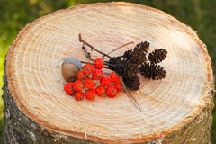 Red autumn rowan and alder cone on wooden stump in garden Stock Photography