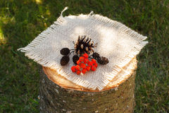 Red autumn rowan and alder cone on wooden stump in garden Royalty Free Stock Image
