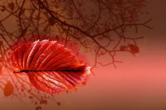Red autumn sheet tree. Red autumn sheet on background tree royalty free stock photography