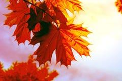 Red autumn sheet tree stock photos