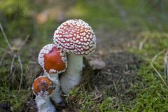 Red autumn toadstool growing in a green European forest Stock Photography