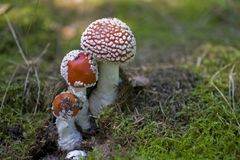 Red autumn toadstool growing in a green European forest Royalty Free Stock Photos