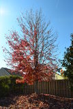 Red autumn tree. On pile of leaves with sunny blue sky Royalty Free Stock Photos