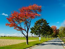 Red autumn tree. Beside the country road Royalty Free Stock Images