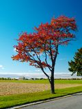 Red autumn tree. Beside the country road stock photo