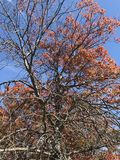 Red Autumn Tree. A beautiful autumn tree with a beautiful blue sky Stock Photos