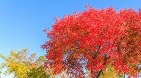 Red Autumn Tree Stock Image