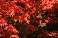 Red autumn tree leaves in forest - Series 2 Royalty Free Stock Photos