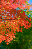 Red Autumn Trees in Japan Stock Photo