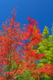 Red Autumn Trees in Japan Royalty Free Stock Image