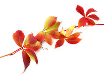 Red autumn twig of grapes leaves Royalty Free Stock Images