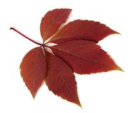 Red autumn virginia creeper leaf on white background Stock Image