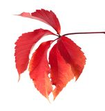 Red autumn virginia creeper leaves Stock Photo
