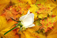 Red autumn with white rose Stock Photo
