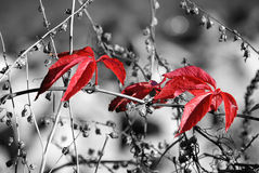 Red autumn1. Red leaves on black/white dry vegetation background / color key effect Royalty Free Stock Images