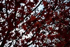 Red autumnal autumn / fall leaves on a tree against the sky stock photos