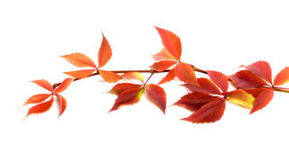 Red autumnal branch of grapes leaves (Parthenocissus quinquefoli Royalty Free Stock Photo
