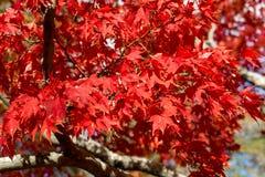 Red autumnal fall foliage, closeup, Upstate New York, NY, USA stock photo