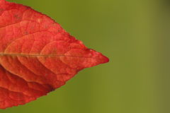 Red Autumnal leaf Royalty Free Stock Image