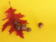 Red autumnal leaf of the scarlet oak and acorns Royalty Free Stock Photos