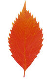 Red autumnal leaf on white Royalty Free Stock Photos