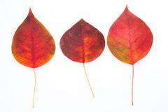 Red autumnal leaves. And white background Stock Photography