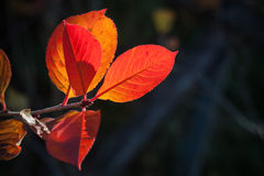 Red autumnal leaves closeup photo Stock Photography