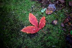Red autumnal leaves. Autumnal red leaves early morning with hoar-frost Royalty Free Stock Images