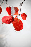 Red autumnal leaves Stock Photos