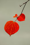 Red autumnal leaves Royalty Free Stock Photo