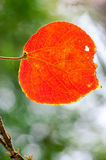 Red autumnal leaves Stock Photography
