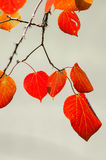 Red autumnal leaves Royalty Free Stock Image